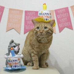 福ちゃん/トラ猫/茶トラ/猫 9月7日は福ちゃんの6歳の お誕生日でし…