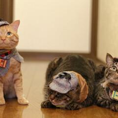 颯/輝/福ちゃん/トラ猫/キジトラ/茶トラ/... 3にゃん、旅に出る🐾