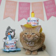福ちゃん/トラ猫/茶トラ/猫 9月7日は福ちゃんの6歳の お誕生日でし…(5枚目)