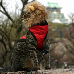 とらねこ/キジトラ/颯/LIMIAペット同好会/LIMIAおでかけ部/フォロー大歓迎/... 大阪城をバックにライオンニャンで 決めポ…