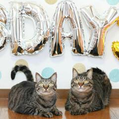 颯/輝/トラ猫/キジトラ/猫 輝🐈颯🐈 3歳になりました🎂