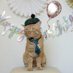 福ちゃん/トラ猫/茶トラ/猫/にゃんこ同好会/うちの子ベストショット 福ちゃん5歳のお誕生日🎂(2枚目)