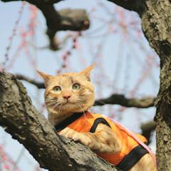 トラ猫/茶トラ/福ちゃん/LIMIAペット同好会/フォロー大歓迎/ペット/... 梅を見に行ったにや🌸(3枚目)