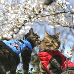 トラ猫/キジトラ/颯/輝/お花見/平成最後の一枚/... お花見🌸 (1枚目)