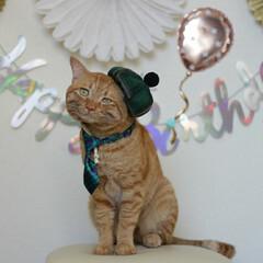 福ちゃん/トラ猫/茶トラ/猫/にゃんこ同好会/うちの子ベストショット 福ちゃん5歳のお誕生日🎂(3枚目)