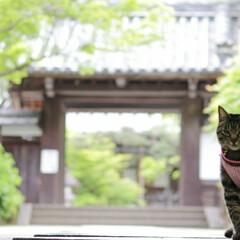 颯/トラ猫/キジトラ/フォロー大歓迎/LIMIAペット同好会/にゃんこ同好会/... モデル颯✨(3枚目)