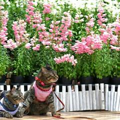 おでかけ猫/颯/輝/トラ猫/キジトラ/猫 お花見🌷(2枚目)