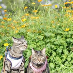 おでかけ猫/颯/輝/トラ猫/キジトラ/猫 コスモス畑🏵️