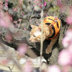 トラ猫/茶トラ/福ちゃん/LIMIAペット同好会/フォロー大歓迎/ペット/... 梅を見に行ったにや🌸(4枚目)