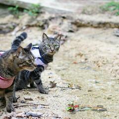 おでかけ猫/颯/輝/トラ猫/キジトラ/猫 ひさびさのお散歩🐾 小川でひと休み🌌