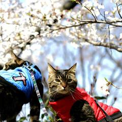 トラ猫/キジトラ/颯/輝/お花見/平成最後の一枚/... お花見🌸 (3枚目)