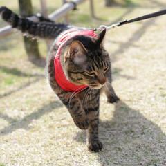 梅/トラ猫/キジトラ/颯/LIMIAペット同好会/フォロー大歓迎/... 梅、きれいだにゃぁ🌸(6枚目)