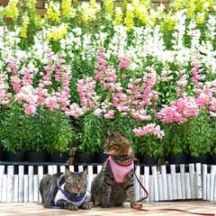 おでかけ猫/颯/輝/トラ猫/キジトラ/猫 お花見🌷