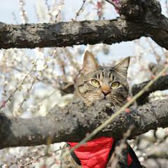 梅/トラ猫/キジトラ/颯/LIMIAペット同好会/フォロー大歓迎/... 梅、きれいだにゃぁ🌸