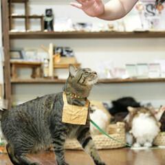 猫猫寺/颯/トラ猫/キジトラ/猫/にゃんこ同好会/... ターッチ🐾