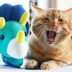 福ちゃん/トラ猫/茶トラ/ねこ/猫 フクザウルスだよ~ ガルルルルルルル~🦖