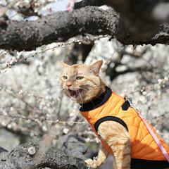 トラ猫/茶トラ/福ちゃん/LIMIAペット同好会/フォロー大歓迎/ペット/... 梅を見に行ったにや🌸(1枚目)