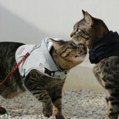 おでかけ猫/颯/輝/トラ猫/キジトラ/猫 お散歩でも仲良し🐈🐈💕