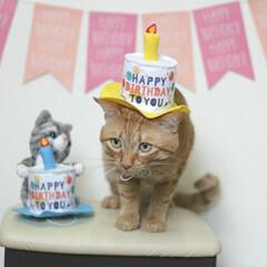 福ちゃん/トラ猫/茶トラ/猫 9月7日は福ちゃんの6歳の お誕生日でし…(4枚目)