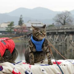 おでかけ猫/颯/輝/トラ猫/キジトラ/猫/... 京都散策(2枚目)