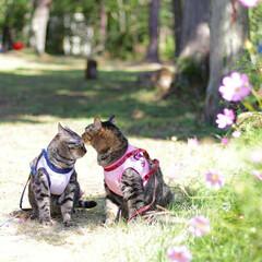 おでかけ猫/とよのコスモスの里/コスモス/颯/輝/トラ猫/... とよのコスモスの里🏵️