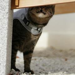 おでかけ猫/颯/トラ猫/キジトラ/猫 いにゃい、いにゃい、 ばぁ~っ!!