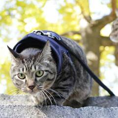 おでかけ猫/颯/輝/トラ猫/キジトラ/猫 紅葉🍁(2枚目)