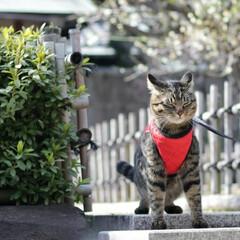梅/トラ猫/キジトラ/颯/LIMIAペット同好会/フォロー大歓迎/... 梅、きれいだにゃぁ🌸(8枚目)