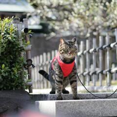 梅/トラ猫/キジトラ/颯/LIMIAペット同好会/フォロー大歓迎/... 梅、きれいだにゃぁ🌸(7枚目)