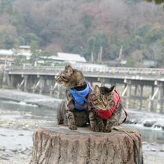 おでかけ猫/颯/輝/トラ猫/キジトラ/猫/... 京都散策(6枚目)