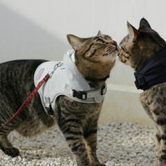 おでかけ猫/颯/輝/トラ猫/キジトラ/猫 お散歩でも仲良し🐈🐈💕(2枚目)