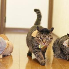颯/輝/福ちゃん/トラ猫/キジトラ/茶トラ/... 3にゃん、旅に出る🐾(3枚目)