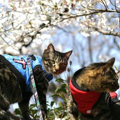トラ猫/キジトラ/颯/輝/お花見/平成最後の一枚/... お花見🌸 (2枚目)