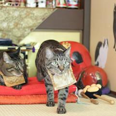 猫猫寺/颯/輝/トラ猫/キジトラ/猫/... 猫猫寺で修行中(3枚目)