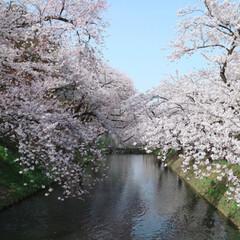女子旅/弘前さくらまつり/弘前/桜/日本の美しい風景/行くぜ東北/... 弘前さくらまつりへ初めて行ってきました*…