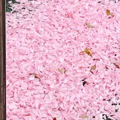 春のフォト投稿キャンペーン/ありがとう平成/令和カウントダウン/春/至福のひととき/おでかけ/... 桜は 散っても 美しい!🌸 花びらの絨毯…(2枚目)