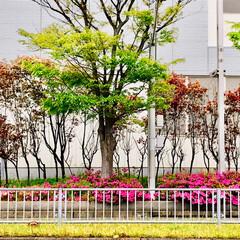 春のフォト投稿キャンペーン/ありがとう平成/令和カウントダウン/春/至福のひととき/おでかけ/... 桜は 散っても 美しい!🌸 花びらの絨毯…(5枚目)