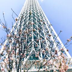 隅田川/桜/スカイツリー/平成最後の一枚/春のフォト投稿キャンペーン/LIMIAおでかけ部 昨日の雨と雷はうそみたい。  風が強かっ…