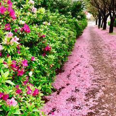 春のフォト投稿キャンペーン/ありがとう平成/令和カウントダウン/春/至福のひととき/おでかけ/... 桜は 散っても 美しい!🌸 花びらの絨毯…(4枚目)