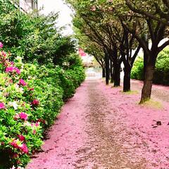 春のフォト投稿キャンペーン/ありがとう平成/令和カウントダウン/春/至福のひととき/おでかけ/... 桜は 散っても 美しい!🌸 花びらの絨毯…(3枚目)