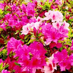 春のフォト投稿キャンペーン/ありがとう平成/令和カウントダウン/春/至福のひととき/おでかけ/... 桜は 散っても 美しい!🌸 花びらの絨毯…(6枚目)