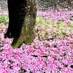春のフォト投稿キャンペーン/ありがとう平成/令和カウントダウン/春/至福のひととき/おでかけ/... 桜は 散っても 美しい!🌸 花びらの絨毯…(1枚目)