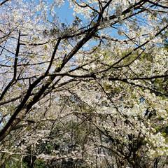 春のフォト投稿キャンペーン/はじめてフォト投稿 この春に見てきた桜を一挙公開🌸  引越し…(2枚目)