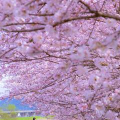 写真で伝えたい私の世界/国内旅行/桜/LIMIAおでかけ部/フォロー大歓迎/犬/... 今年も桜の季節がやってくるねー。😊 わん…