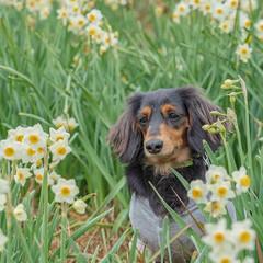 ミニチュアダックス/ペット仲間募集/わんこ同好会/わんこと旅/愛犬との旅/うちの子ベストショット/... 水仙が綺麗だったなあ♬  とてもいい匂い…
