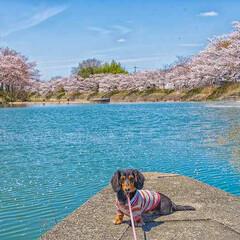 スローライフ/ミニチュアダックス/わんこと旅/写真で伝えたい私の世界/ノマド/旅が仕事/... 兵庫県加東市の千鳥川。桜の穴場でしたよー…