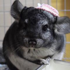 スタンダードグレー/うちの子ベストショット/チンチラ/LIMIAペット同好会 ☆ 🐭帽子被ってみまちた♡ エル似合って…