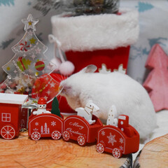 アイボリー/ゴールデンハムスター/ハムスター/クリスマス2019/リミアの冬暮らし/ダイソー/... はじめてのクリスマス🎄 9月生まれのアイ…(3枚目)