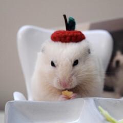 ゴールデンハムスター/アイボリー/ハムスター/うちの子ベストショット/LIMIAペット同好会 ☆ まるっと小動物展で購入したりんごの帽…