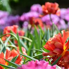 チューリップ/日本庭園/島根県/牡丹咲き/由志園/Flower/...